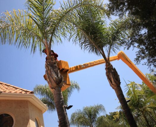 Palm Tree Trimming and Removal-Riverside Tree Trimming and Stump Grinding Services-We Offer Tree Trimming Services, Tree Removal, Tree Pruning, Tree Cutting, Residential and Commercial Tree Trimming Services, Storm Damage, Emergency Tree Removal, Land Clearing, Tree Companies, Tree Care Service, Stump Grinding, and we're the Best Tree Trimming Company Near You Guaranteed!