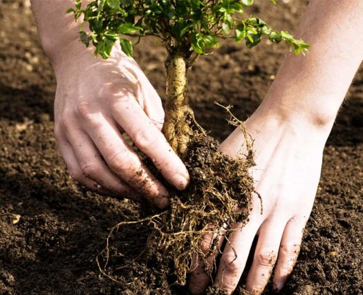 Tree Planting-Riverside Tree Trimming and Stump Grinding Services-We Offer Tree Trimming Services, Tree Removal, Tree Pruning, Tree Cutting, Residential and Commercial Tree Trimming Services, Storm Damage, Emergency Tree Removal, Land Clearing, Tree Companies, Tree Care Service, Stump Grinding, and we're the Best Tree Trimming Company Near You Guaranteed!